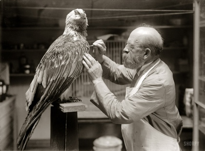 El taxidermista y el Quebrantahuesos_1916_N.R. Wood of Smithsonian Institution 002
