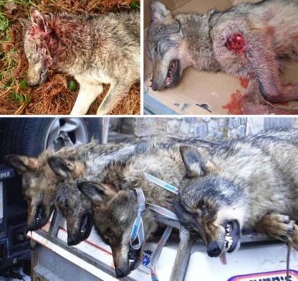 Lobos asturianos